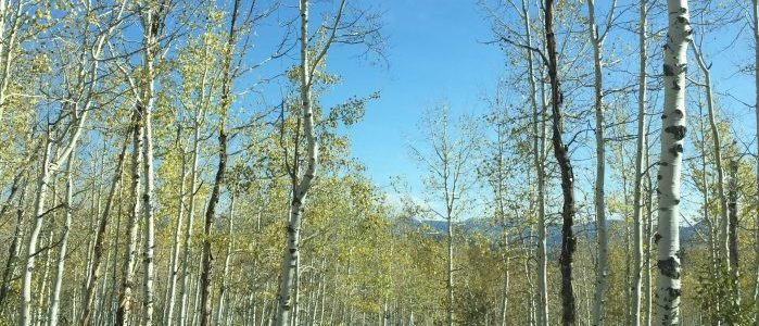 Aspen trees in a mountain forest.